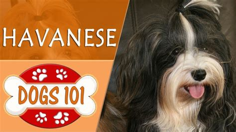 facts about havanese dogs 101 havanese top facts about the havanese