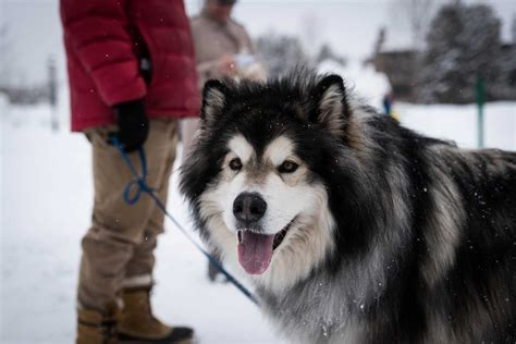 alaskan breeds alaskan malamute breed pictures photos images