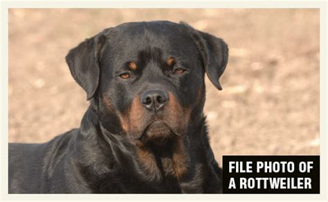rottweiler kills 2015 bite fatality mauled to by pet rottweiler dogsbite org