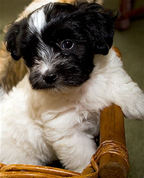 havanese puppies for sale vancouver breeder washington state breeds picture