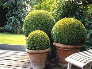 what are topiaries eugenia or myrtus species sassoon