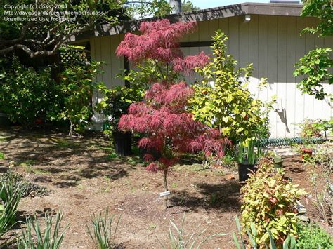 plantfiles pictures japanese maple villa taranto acer palmatum by doss