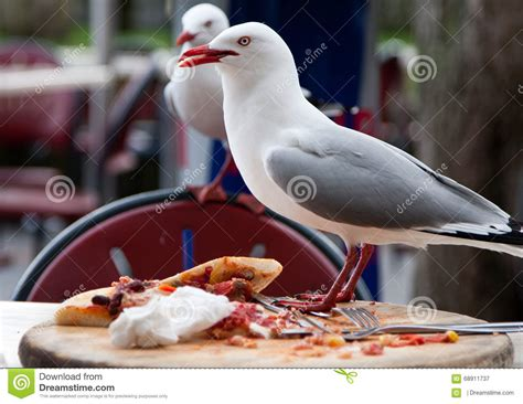 seagull stealing human food stock photo image