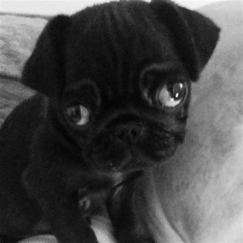 pugs for sale west 25 best baby pugs for sale ideas on pug puppies for sale pug puppies and