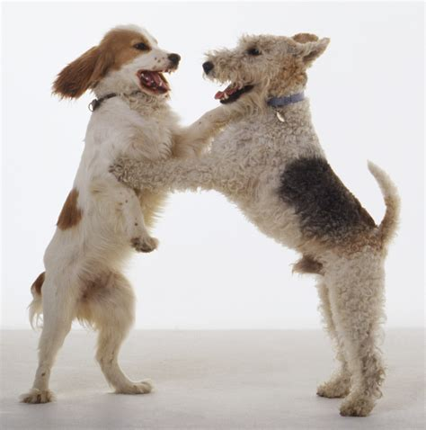 Wire Fox Terrier Shedding by Wire Fox Terrier History Temperament Care More