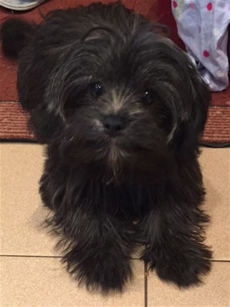 yorkie poo for sale in uk gorgeous yorkie poo for sale morecambe lancashire pets4homes