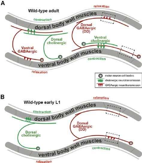 anatomy  development   elegans locomotor