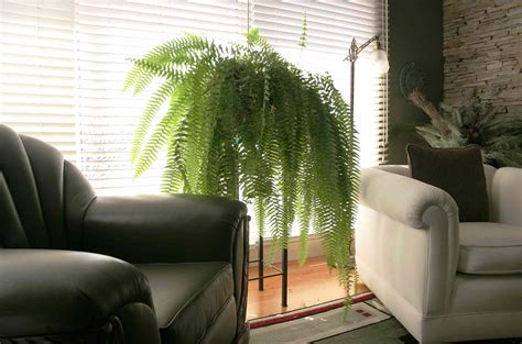 tips  growing ferns indoors