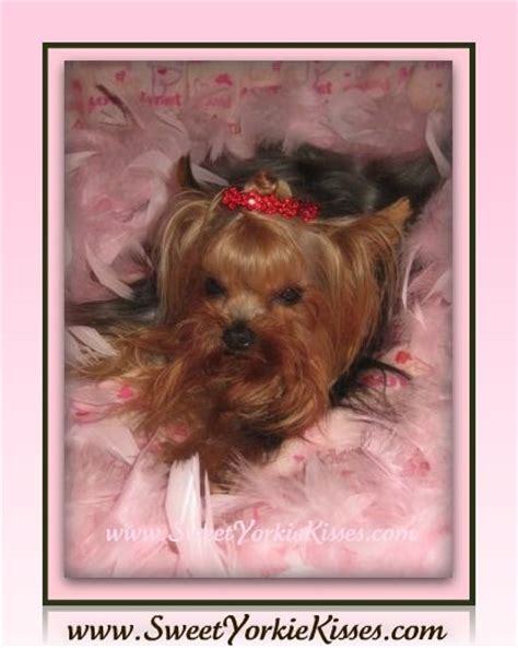 sweet yorkie kisses sweet yorkie kisses terrier breeder winchester california