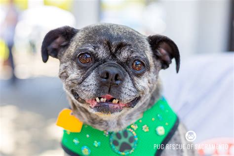 pug for rescue available for adoption pug rescue of sacramento