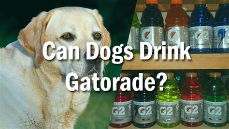 can dogs drink can dogs drink gatorade pet consider