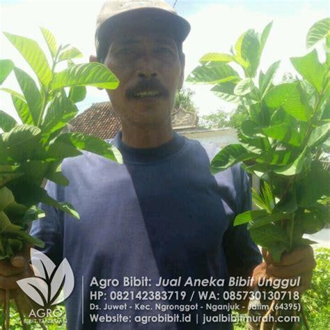 Bibit Stevia Jakarta pengiriman bibit ke seluruh indonesia agro bibit id