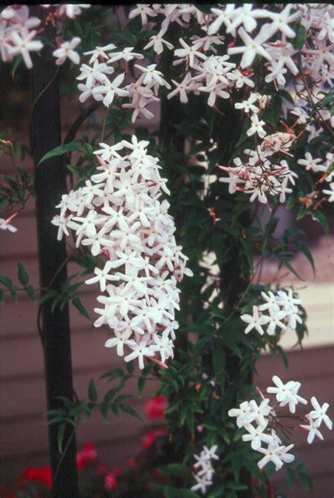 kletterpflanzen immergrün winterhart bl 252 hende kletterpflanzen 10 winterharte arten f 252 r garten
