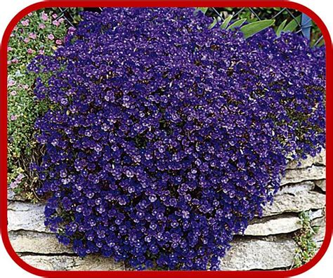 piante fiorite ricanti piante da bordura perenni piante da bordura perenni piante