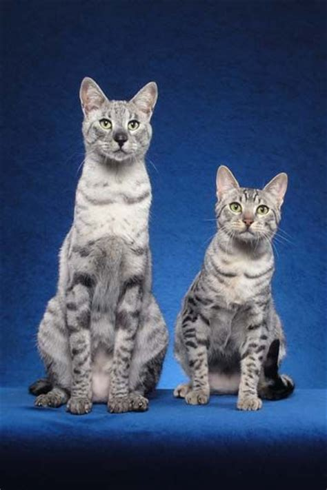 savannah house cat savannah cats 1 2 domestic cat and 1 2 serval cat cats pinterest cats other