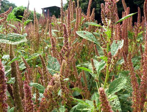 amaranth plainsman   southern exposure seed exchange