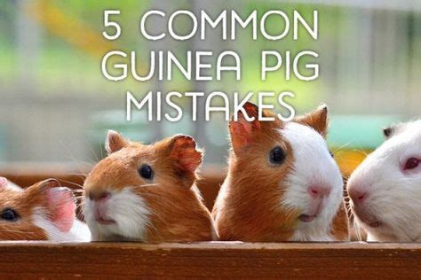 7 Tips On Caring For Pigs by Best 25 Guinea Pigs Ideas On Hamster Names