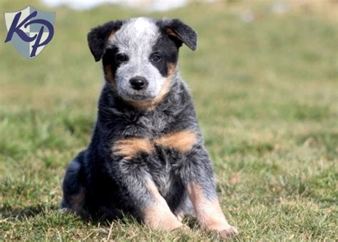 mini australian cattle puppies for sale 17 best ideas about cattle dogs for sale on miniature cows for sale cows