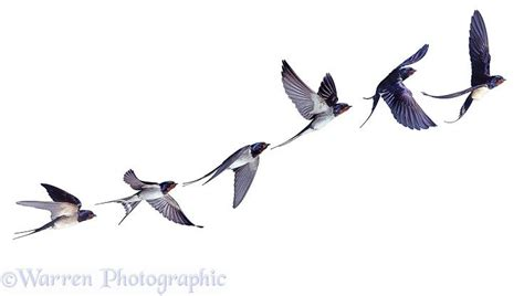 barn swallow tattoo designs in flight series photo wp28019
