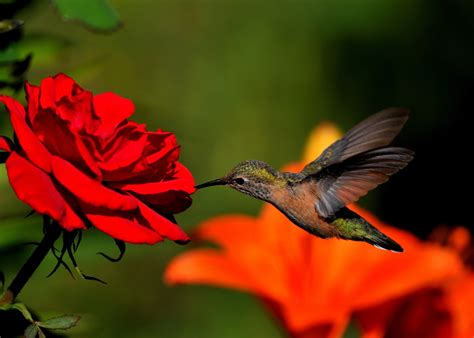 hummingbird wallpapers images  pictures backgrounds