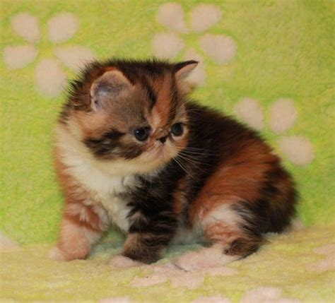 gratis kittens aangeboden perzische kittens te koop tweedehands en nieuw amaaiamaai