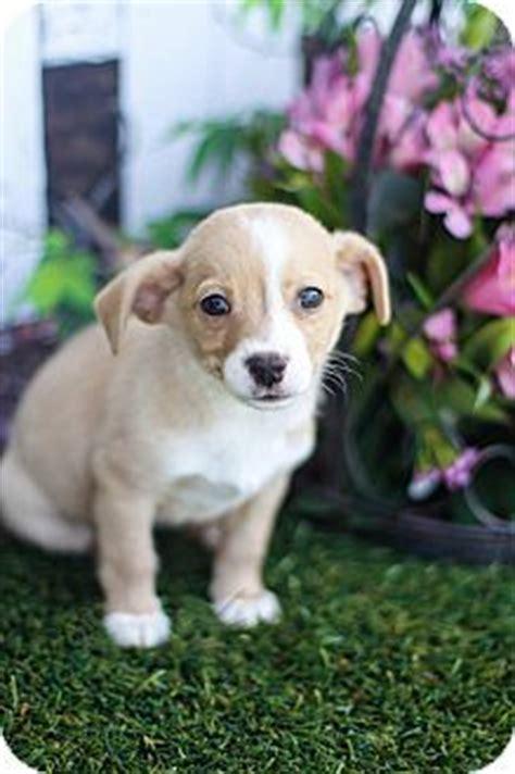 havanese beagle mix 13 gorgeous maltese mixes and their ludicrous names