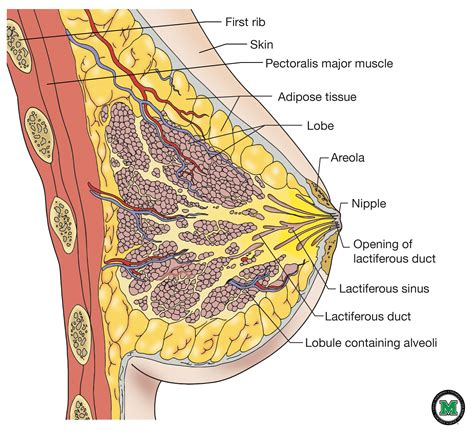 diagram of breast human anatomy free breast anatomy pictures musom graphic