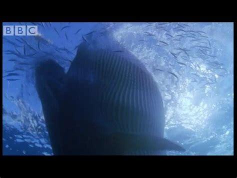 sei whale feeding frenzy blue planet bbc wildlife
