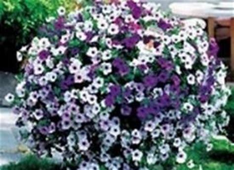 come si fa far fiorire orchidee petunia domande e risposte fiori caratteristiche della