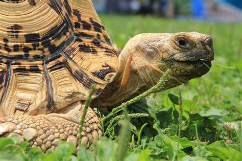 tartarughe terra alimentazione tartarughe di terra razze alimentazione e come fare denuncia