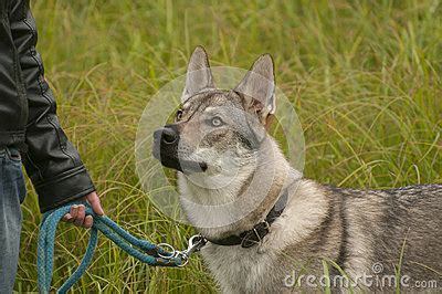 purebred czechoslovakian wolfdog puppies for sale czechoslovakian wolfdog royalty free stock photo breeds picture