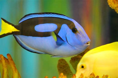 finding dory  blue tangs    fish dont