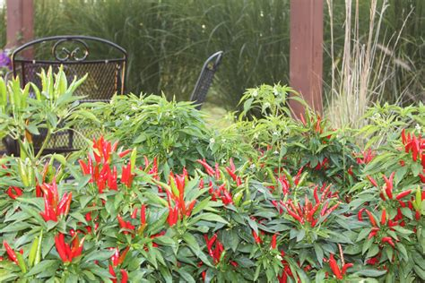 Spice Pepper Garden by Ornamental Peppers In The Landscape Spice Up Your Flower