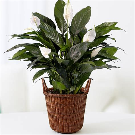 Home Plants by Indoor Plants House Plants