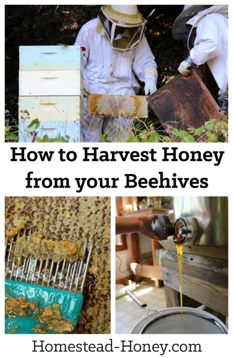 harvesting honey from a beehive beehive homesteads and