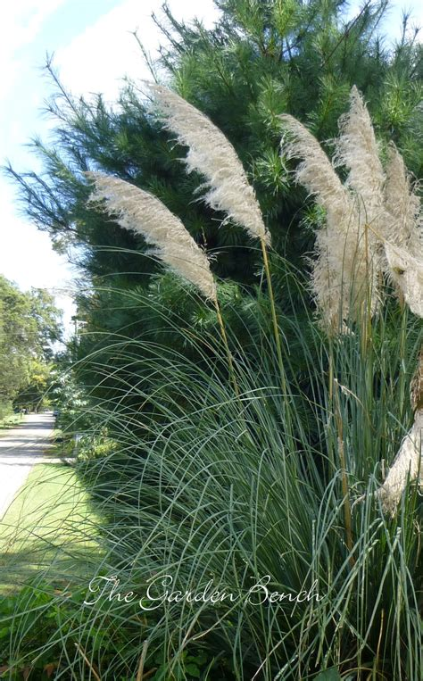 cortaderia selloana pas grass ornamental plume 100 images or ostrich plume and pink