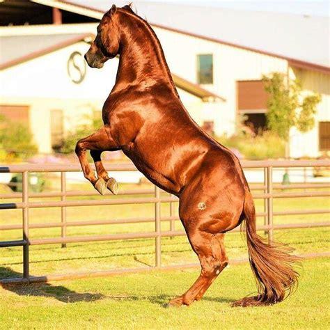 cuarto milla cuarto de milla caballos cuarto de milla