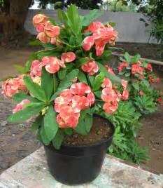 cara menanam bunga dahlia dalam pot tanamanbaru