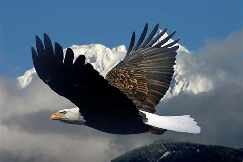 Respond To Bald Brit Madness by Bald Eagle In Mid Air Flight Pgcps Mess Reform
