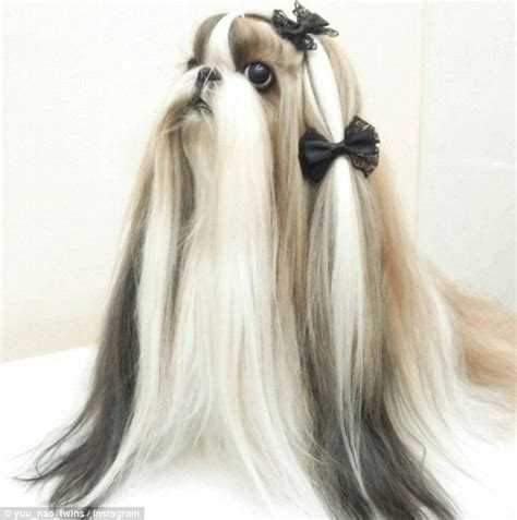 shih tzu hair accessories the shih tzu dogs from japan with better hair than you daily mail