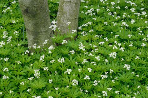 sweet woodruff photograph by vic harris