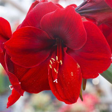 fiore amaryllis amaryllis amaryllis bulb