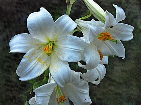 imagenes de lilis blancas azucenas en la naturaleza im 225 genes y fotos