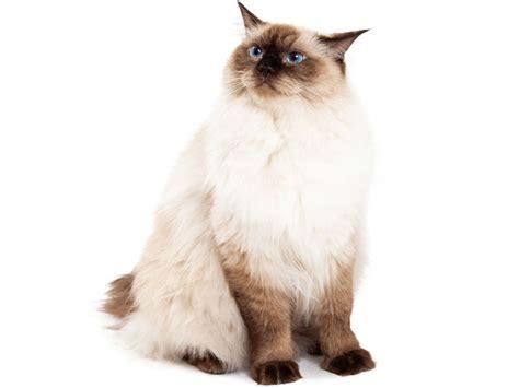 alimentazione ragdoll ragdoll schede razze gatti