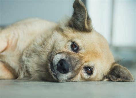 lead poisoning in dogs lead poisoning in dogs petmd