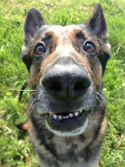 vet  whaaaat funny animals pinterest  german shepherds dog  animal ideas