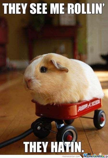 Shaved Guinea Pig Meme - guinea pig memes best collection of funny guinea pig pictures