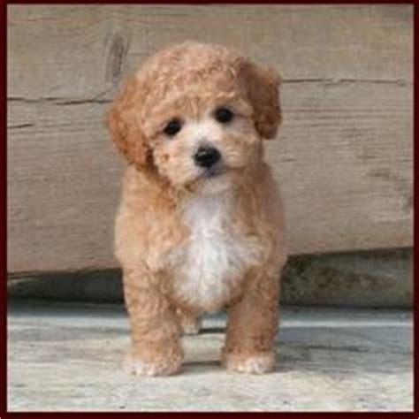 bich poo haircut poodle bichon mix haircut style aww makes me want