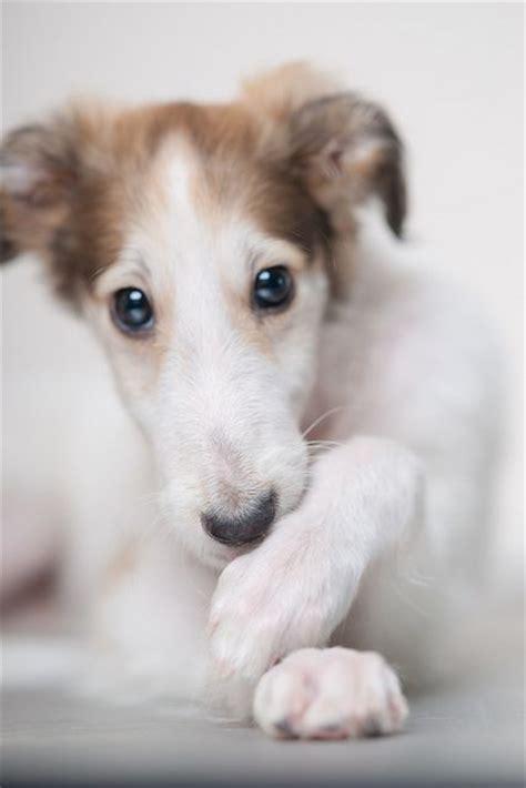 borzoi puppies borzoi puppy dogs