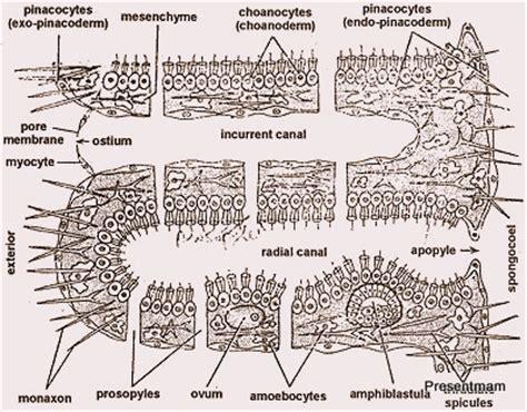 euspongia diagram porifera new world quot created quot